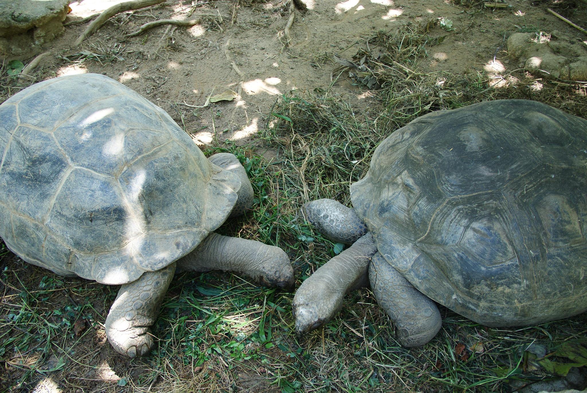 Riesenschildkröten auf Mahé, Seychellen
